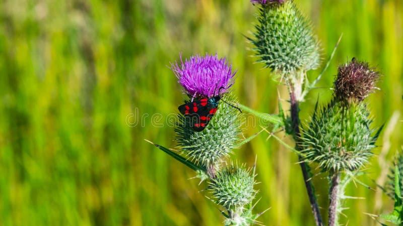 矛与蝴蝶六斑点burnet Zygaena filipendulae特写镜头,选择聚焦的蓟或Cirsium vulgare花 免版税库存图片