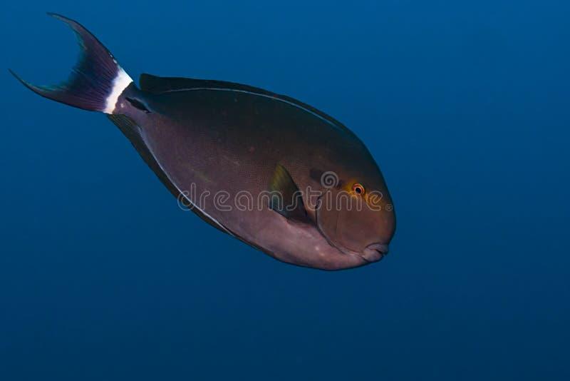 矛状棘鱼 免版税库存图片
