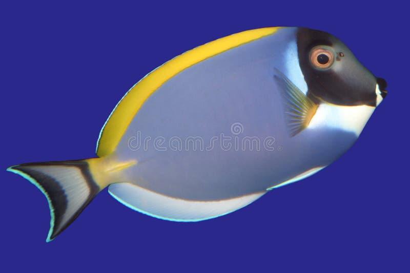 矛状棘鱼 库存图片
