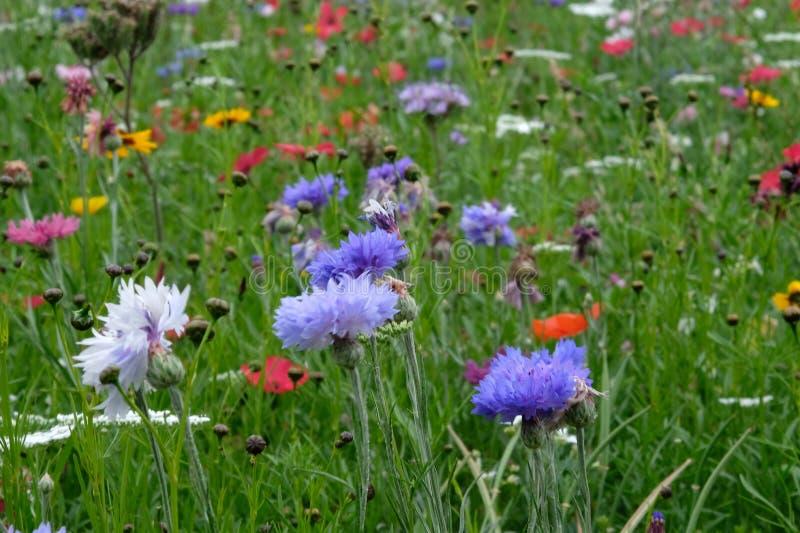 矢车菊、万寿菊和鸦片照片在野花的领域开花,采取在一个晴天在夏天,在Eastcote,英国 图库摄影
