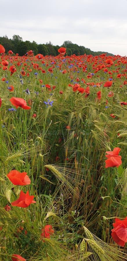 矢车菊和鸦片在大麦领域 免版税图库摄影