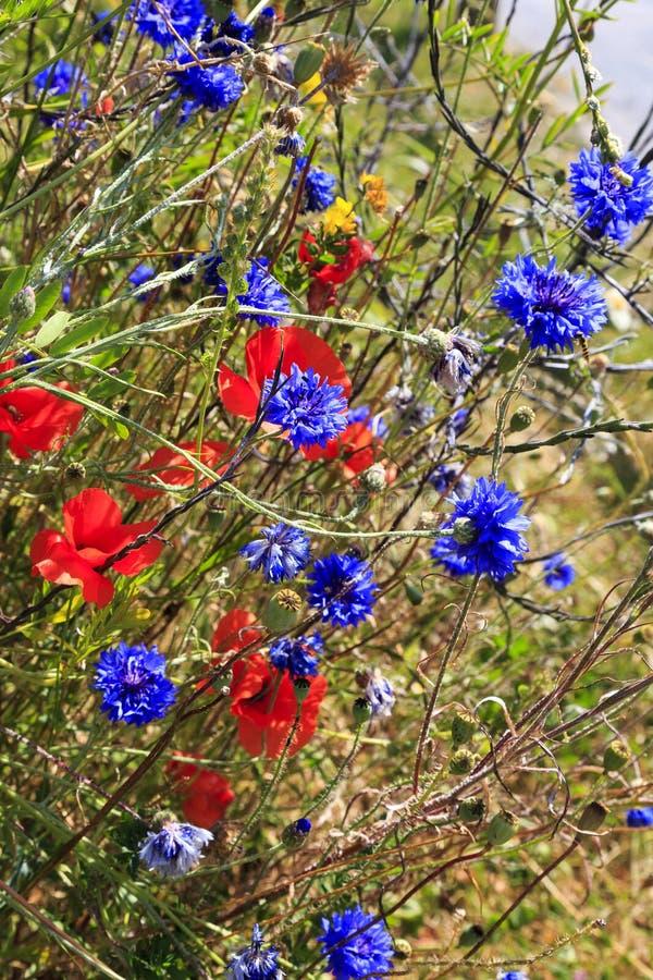 矢车菊和poppys在草 图库摄影