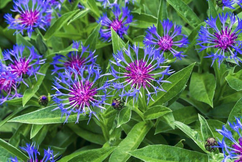 矢车菊山拉丁矢车菊蒙大拿—从Astrovye家庭的一棵植物或者蓟家庭 库存图片