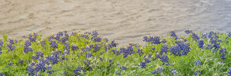 矢车菊沿一个湖在恩尼斯,得克萨斯,美国开花 免版税库存图片