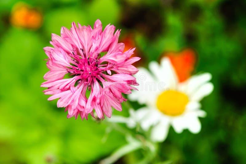 矢车菊的明亮的紫色花在夏天庭院里 免版税库存图片