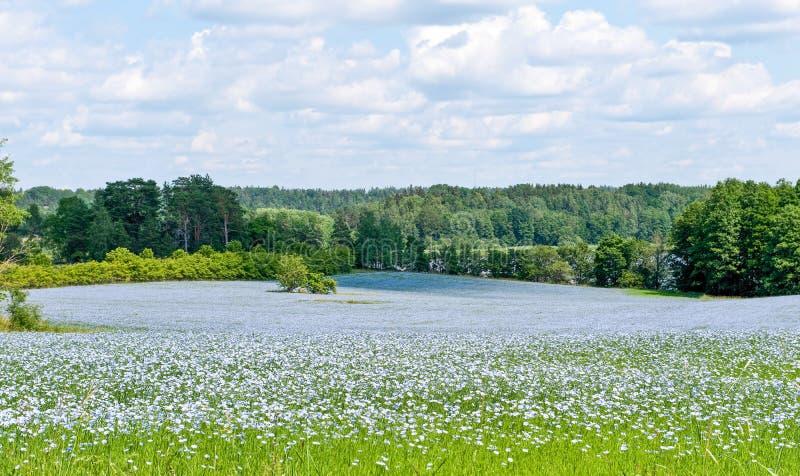 矢车菊的领域在Ã-stergötland,瑞典 免版税库存照片