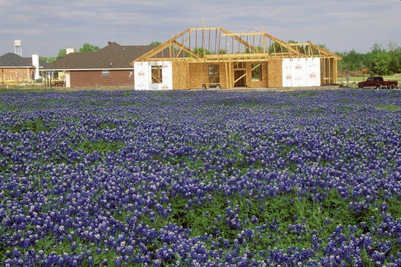 矢车菊的领域在绽放春天杨柳城市圈Rd的 TX 库存照片