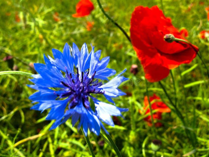 矢车菊矢车菊cyanus的嫩绽放和红色鸦片罂粟属rhoeas在好日子开花 夏天花关闭 库存照片