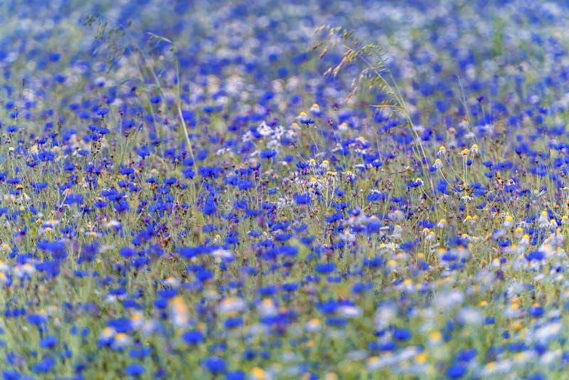 矢车菊花和春黄菊在领域 浅深度的域 库存图片