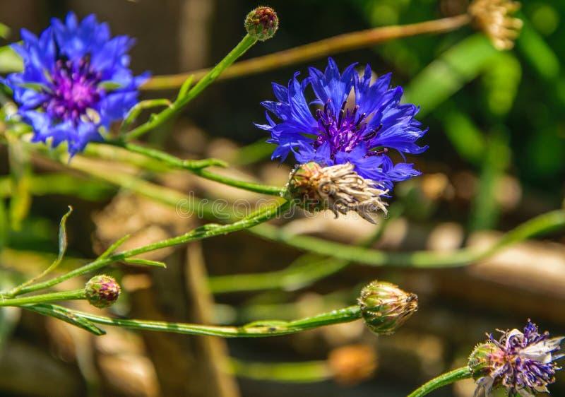 矢车菊,黑矢车菊属矢车菊scabiosa或者更加伟大的黑矢车菊属蓝色花卉生长在领域 r 库存照片