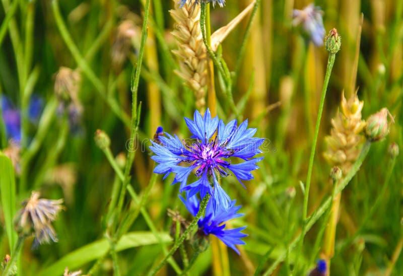 矢车菊,黑矢车菊属矢车菊scabiosa或者更加伟大的黑矢车菊属蓝色花卉生长在领域 r 库存图片
