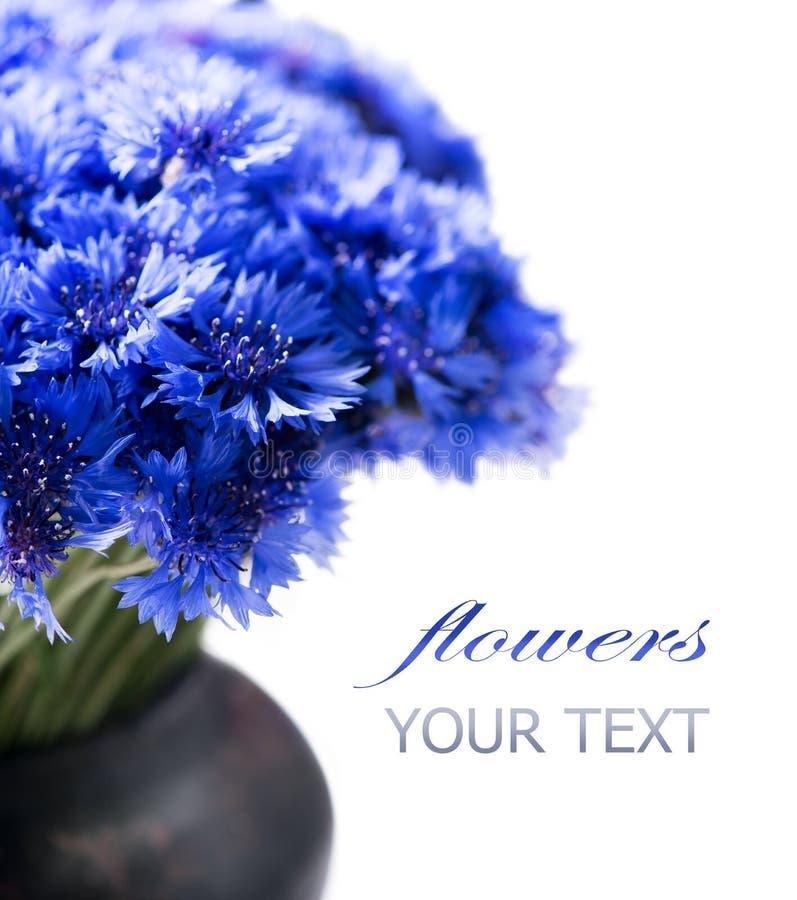 矢车菊 狂放的蓝色花束 免版税图库摄影