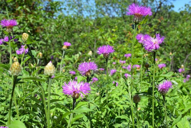 矢车菊Scabiosa L或类矢车菊的更加伟大的黑矢车菊属 紫色花在领域的一好日子 库存图片