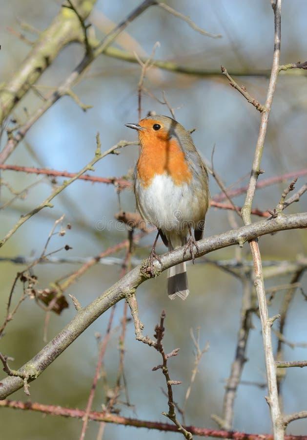 知更鸟坐的结构树 库存照片