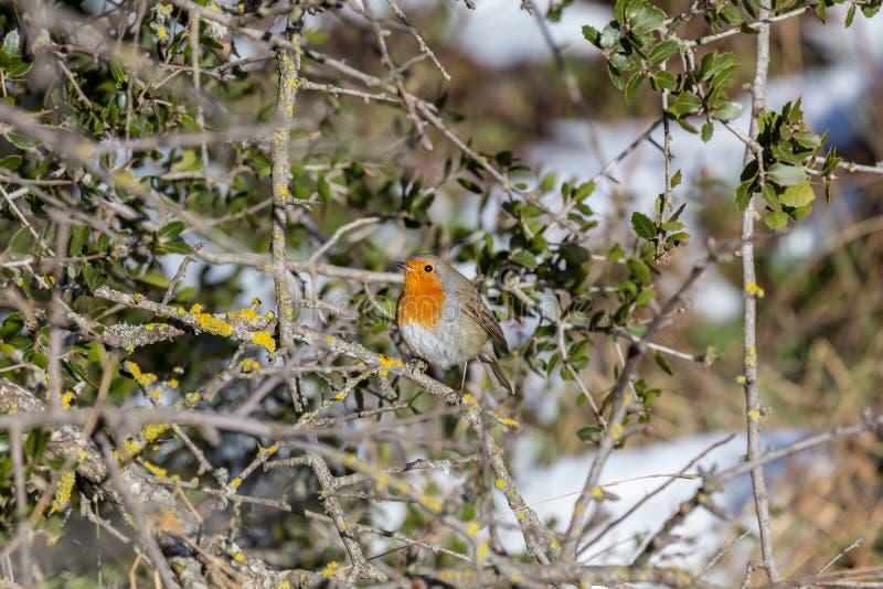 知更鸟画眉rubecula坐一个分支在冬天森林里 免版税库存照片