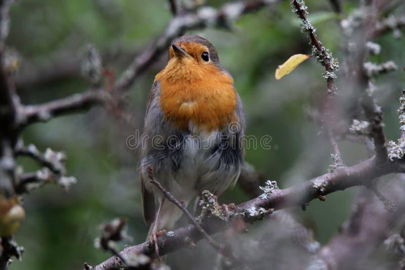 知更鸟的美好的神色 免版税库存照片