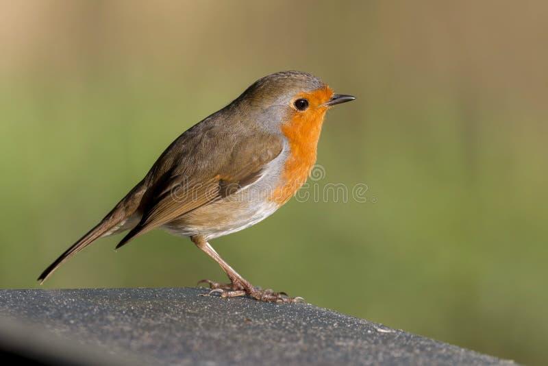 知更鸟鸟,画眉rubecula在分支栖息 免版税库存图片
