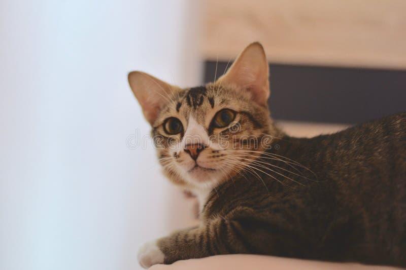 短匙CAT 免版税库存照片