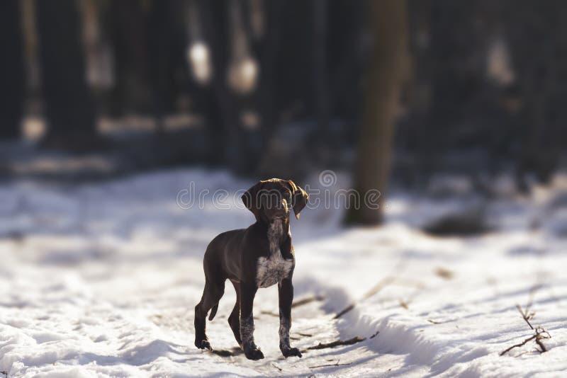 短发德国指针的小狗 免版税库存图片