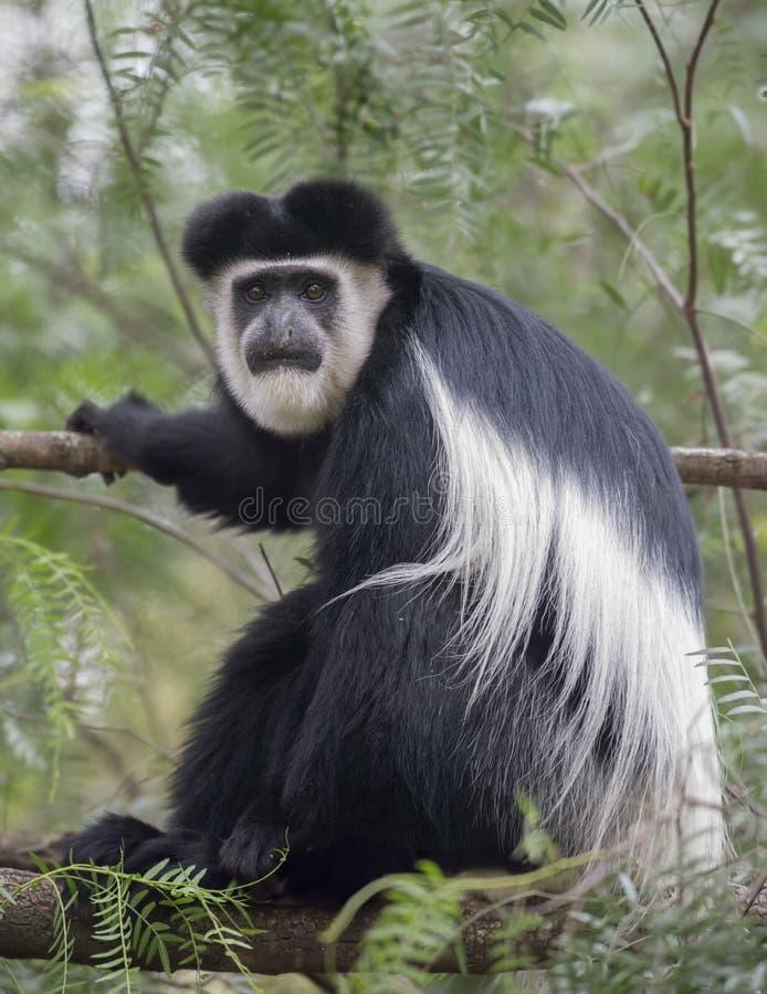 短尾猴坐树枝在奈瓦夏湖 免版税库存图片