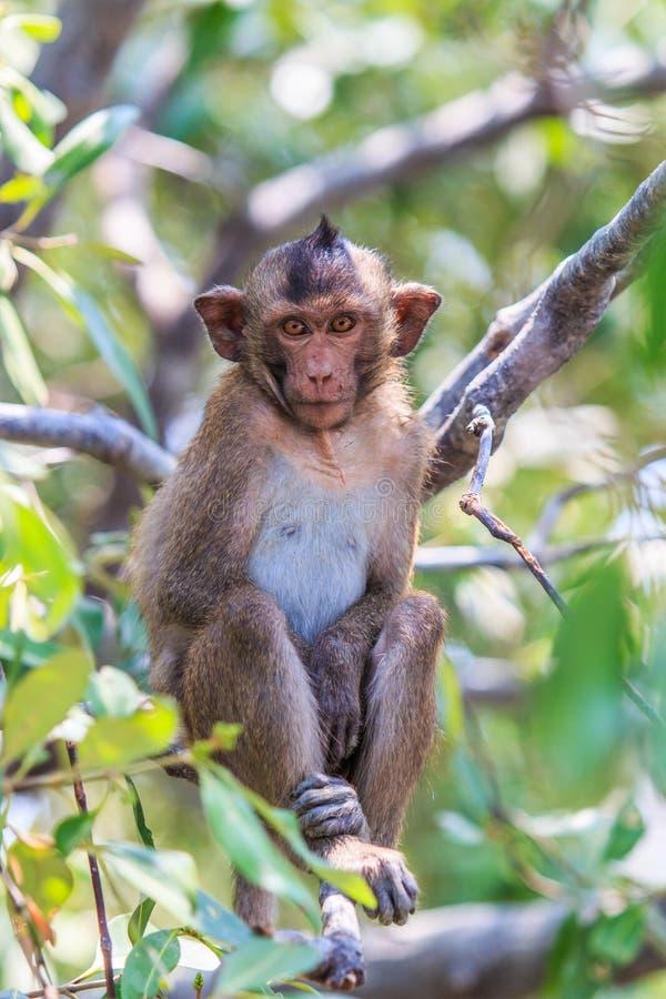 短尾猿或螃蟹吃短尾猿 库存图片