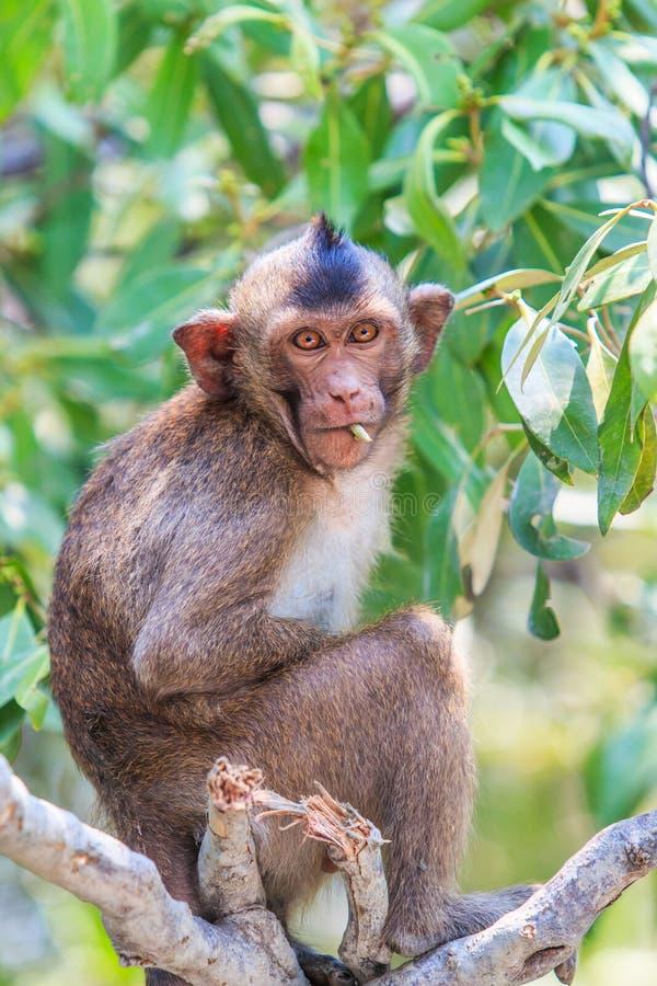 短尾猿或螃蟹吃短尾猿 免版税库存图片