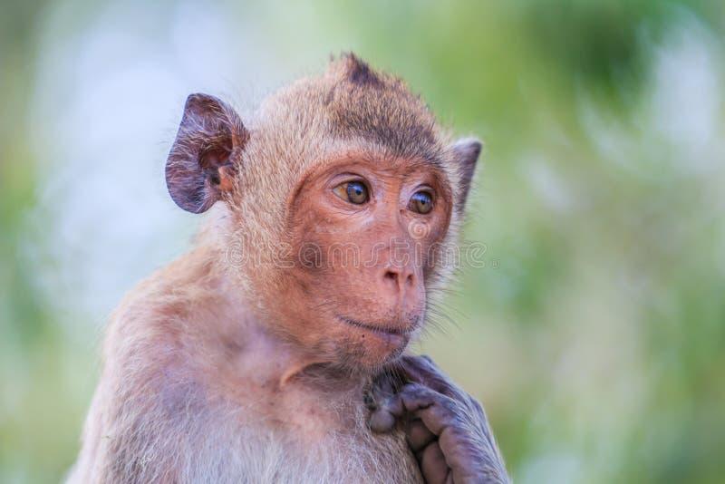 短尾猿或螃蟹吃短尾猿 免版税库存照片