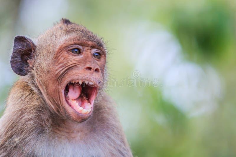 短尾猿或螃蟹吃短尾猿 库存照片