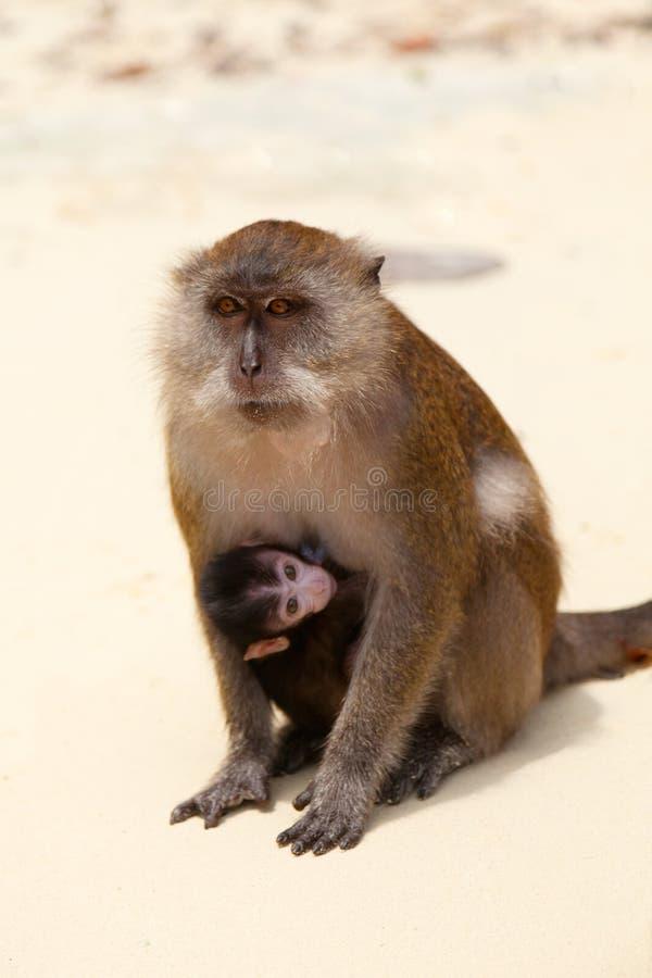 短尾猿母亲和孩子猴子的靠岸,泰国 库存照片