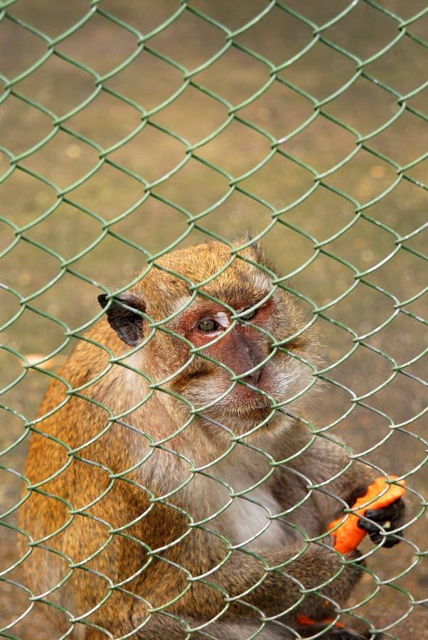 短尾猿猴子 图库摄影