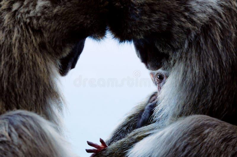 短尾猿系列 免版税库存图片