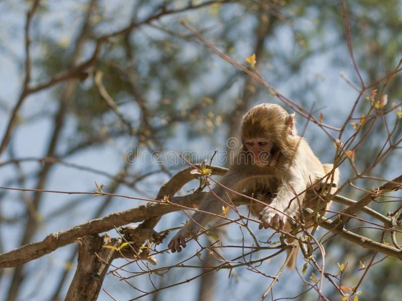 短尾猿 免版税库存照片