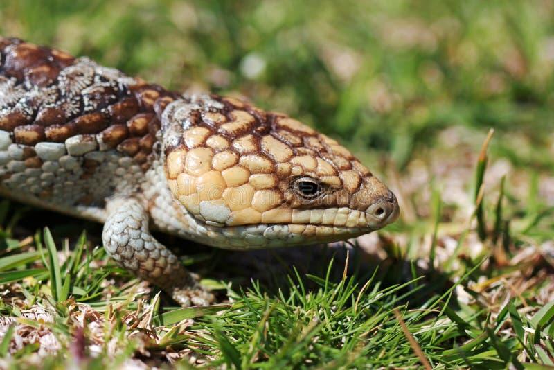 短尾的蜥蜴 免版税库存图片