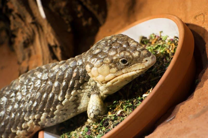 短尾的蜥蜴(Tiliqua rugosa) 免版税库存照片