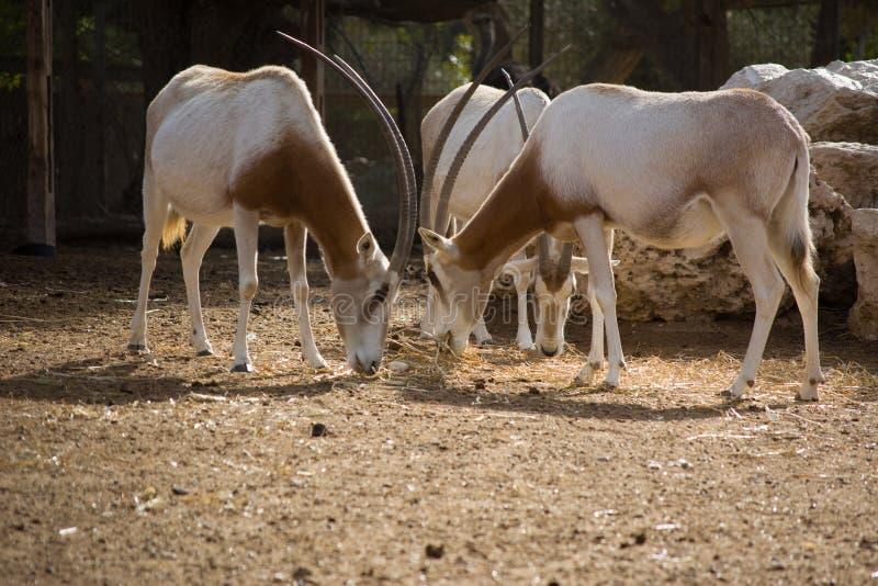 短弯刀有角的羚羊属在动物园里 也羚羊dammah沙漠异乎寻常的绝种比赛家有角其使名为北部羚羊属大农场短弯刀得克萨斯美国通配 免版税库存照片