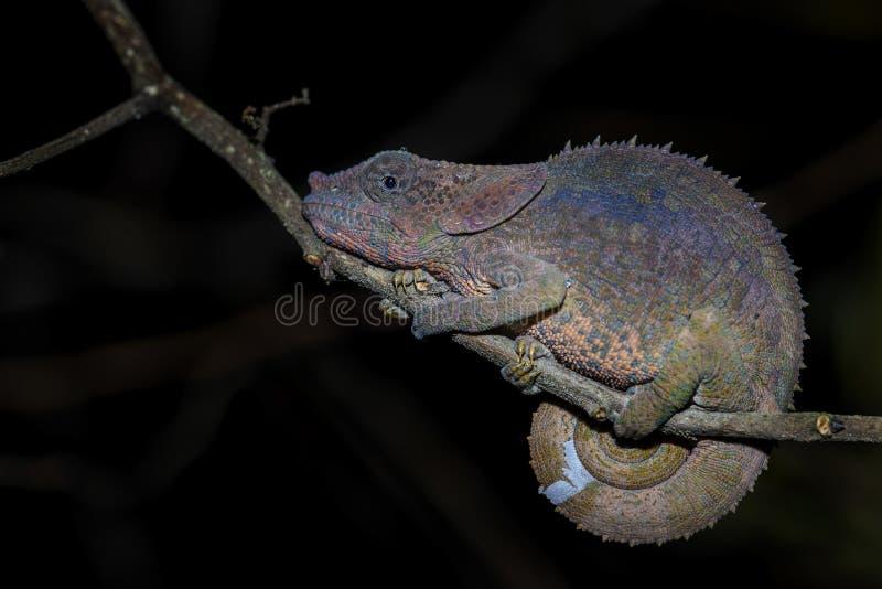 短有角的变色蜥蜴- Calumma brevicorne 图库摄影