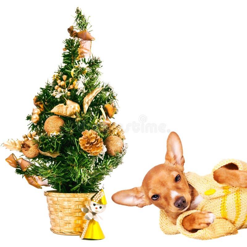 短毛猎犬与圣诞树的pincher小狗 免版税库存图片