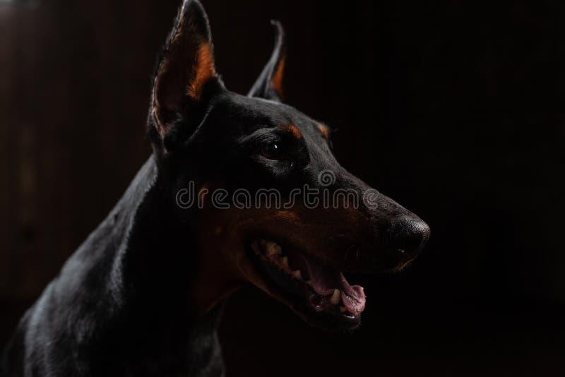 短毛猎犬狗特写镜头滑稽的画象与大鼻子凝视的秘密审议秘密审议在被隔绝的黑背景的 库存图片