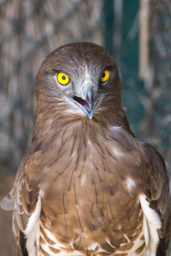 短用脚尖踢的蛇老鹰Circaetus gallicus,亦称短用了脚尖踢老鹰紧密炫耀酥脆,清楚,黄色眼睛 ?? 库存照片