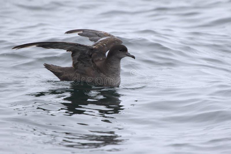 短被盯梢的海鸥类飞鸟坐水和准备飞行 免版税库存图片
