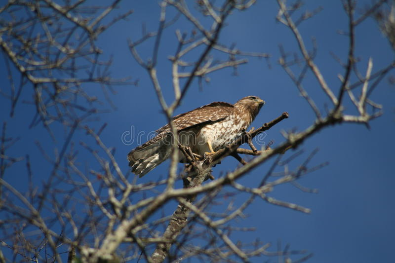 短被盯梢的鹰(鵟鸟brachyurus) 库存照片