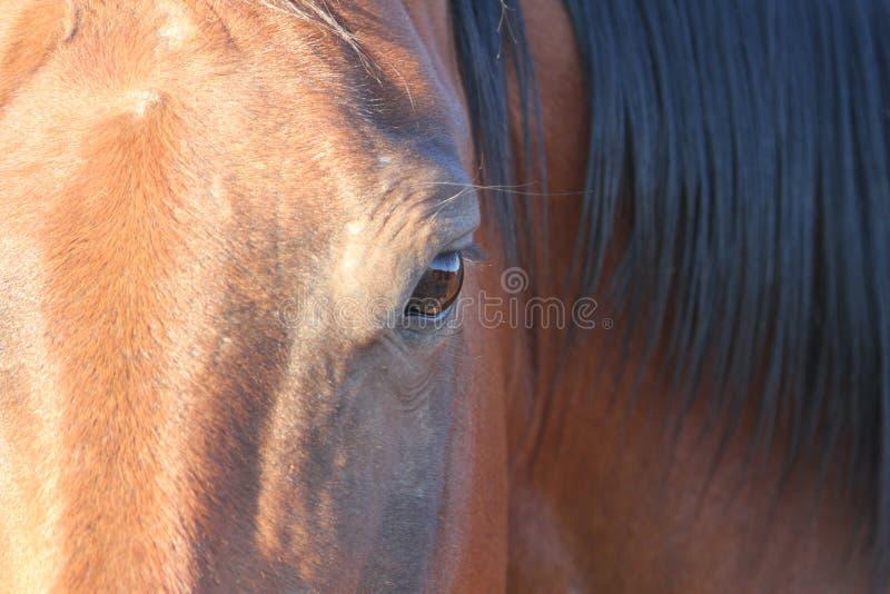 短距离冲刺的马的眼睛 免版税图库摄影