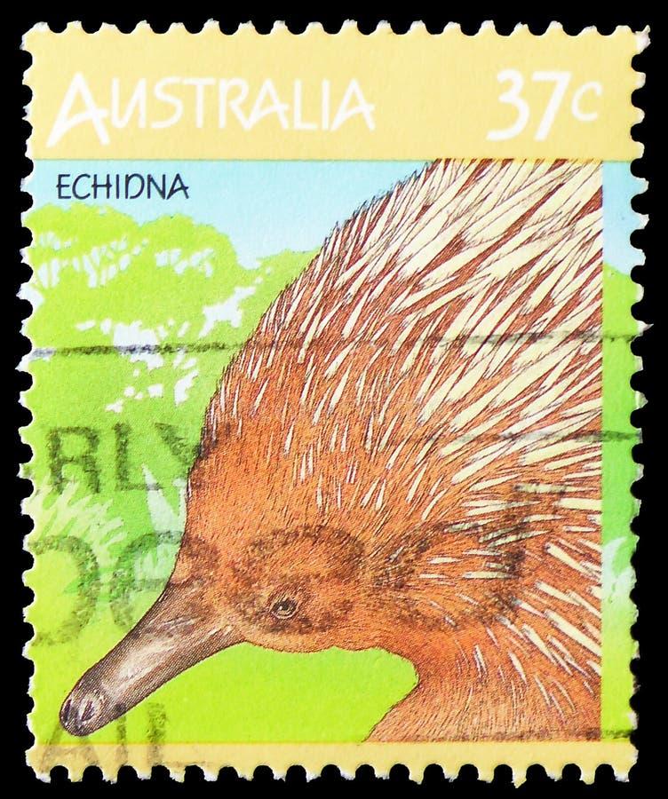短钩形的针鼹单孔目哺乳动物类aculeatus,澳大利亚野生生物serie,大约1987年 免版税库存图片