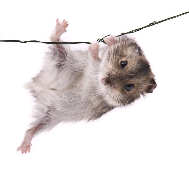 矮小的仓鼠一点 免版税图库摄影