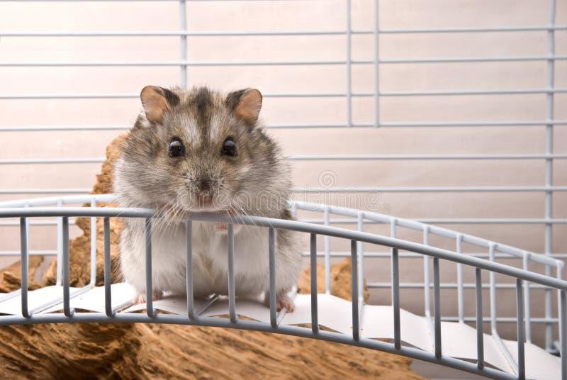 矮小的仓鼠 免版税图库摄影