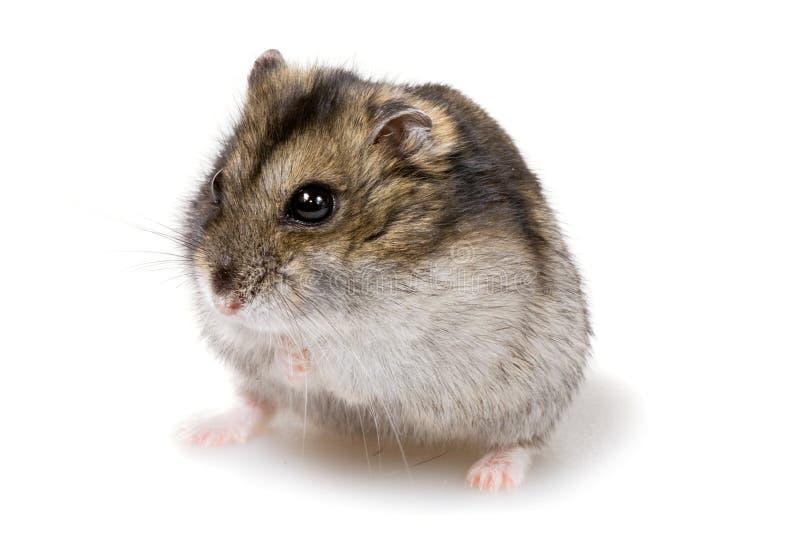 矮小的仓鼠 图库摄影