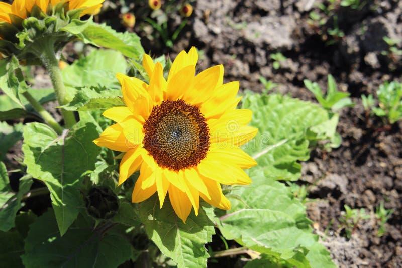 矮小的向日葵绽放 库存照片