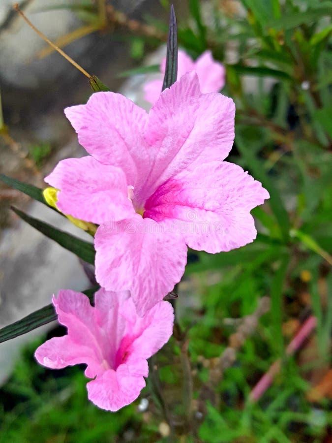 矮小的墨西哥喇叭花|凯特桃红色|凯特Ruellia [野生喇叭花] 库存照片