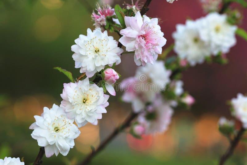 矮小的开花的樱桃,矮小的榆叶梅 免版税库存图片