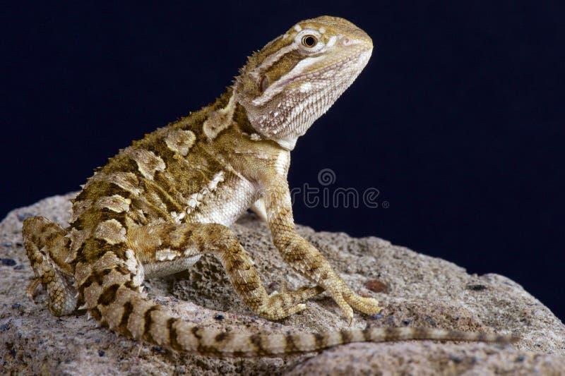 矮小的有胡子的龙/Pogona henrylawsoni 免版税库存照片